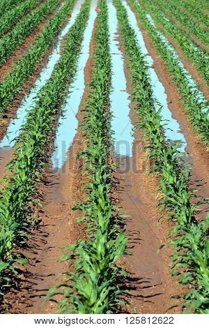Rows of corn being irrigated in large agriculture field.