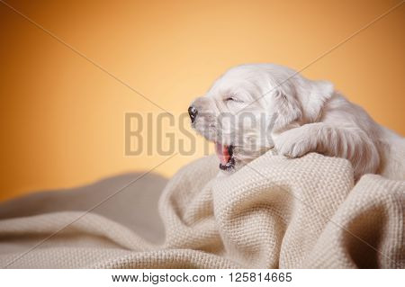 Little puppy Golden retriever sleepy golden sleepy puppy golden sweet dream dreaming dog healthy puppy golden