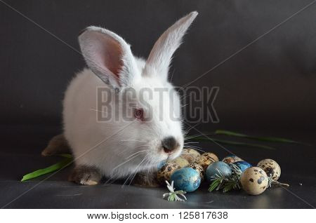 Easter bunny and Easter quail eggs on a black background