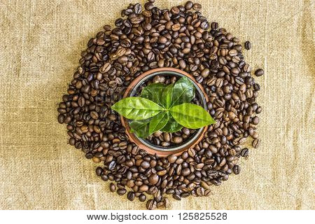 Young sprout of coffee tree in a pot with coffee beans are scattered around him on the background of canvas burlap. Top view