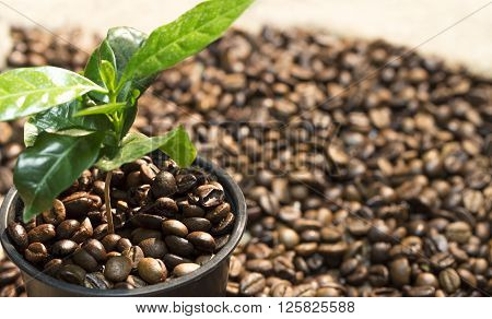 Young sprout of coffee tree in a pot with coffee beans are scattered around him on the background of canvas burlap. Focus on beans in pot