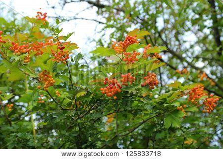 Fruit and leaves of viburnum opulus (european cranberrybush).