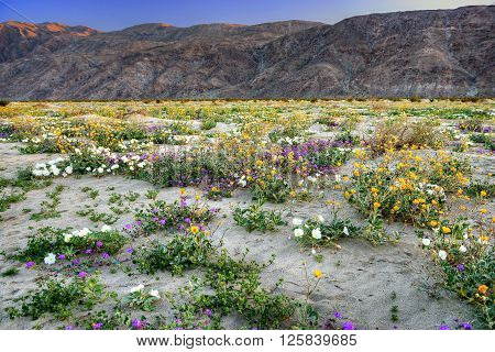 Blooming Mojave Desert near Anza Borrego Springs California.** Note: Visible grain at 100%, best at smaller sizes