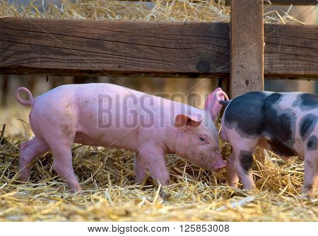 Cute piglet at the farm in spring time ** Note: Visible grain at 100%, best at smaller sizes
