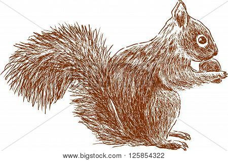 Vector drawing of a squirrel eats a nut.