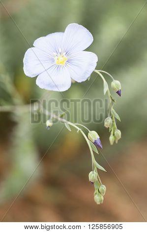 flower and buds of flax plant Linum usitatissimum