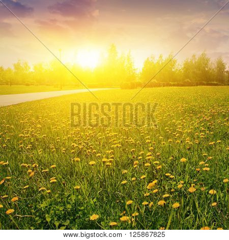 Beautiful sunset and field of yellow dandelions.