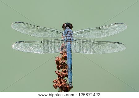 Overhead Portrait of a Slaty Skimmer Dragonfly ** Note: Shallow depth of field