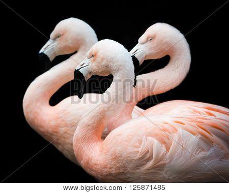Flamingo Trio Iii