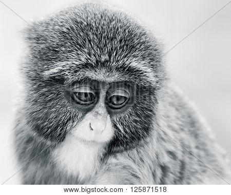 Baby De Brazza's Monkey Vi