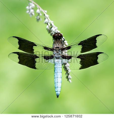 Common Whitetail Iii