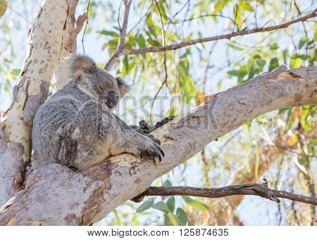 Koala sitting, sleeping in eucalyptus tree on tropical Magnetic Island, Australia