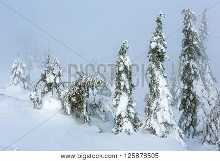 Icy Snowy Fir Trees On Winter Misty Hill.
