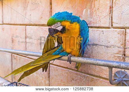 The beautiful Macaw parrot sitting on the handrails cleans feathers and attracts the tourists to visit the souvenir shop on Via Dolorosa Jerusalem Israel.