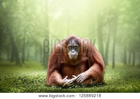 Female Orangutan Alone In The Jungle