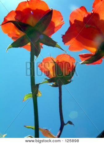 Orange Roses Look To The Sun