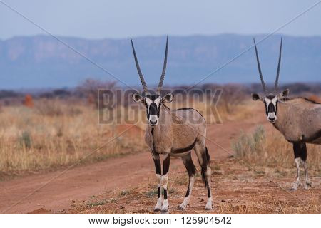 Oryx Standing Against Waterberg Plateau