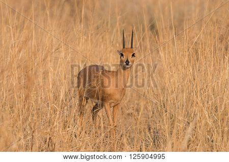 Male Steenbok Portrait Ears Back
