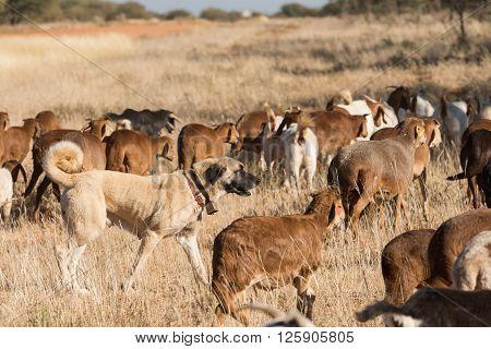 Livestock Guarding Dog Amongst Herd