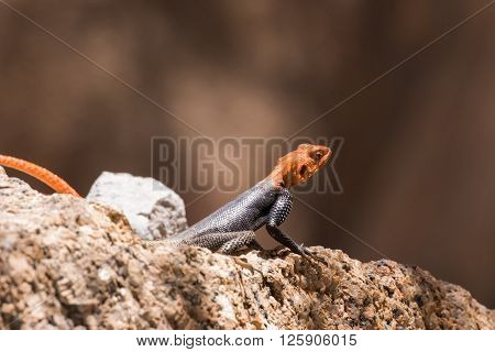 African Readhead Agama On Rock
