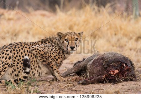 Cheetah On Warthog Kill