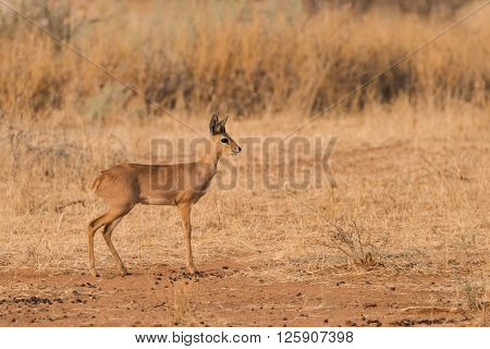 Male Steenbok (Raphicerus campestris) Profile in Namibia