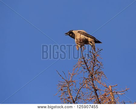 hooded crow croaking on top of tree