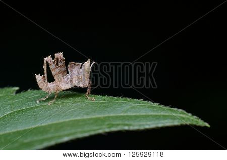 Leaf Mimic Grasshopper Nymph on a green leaf