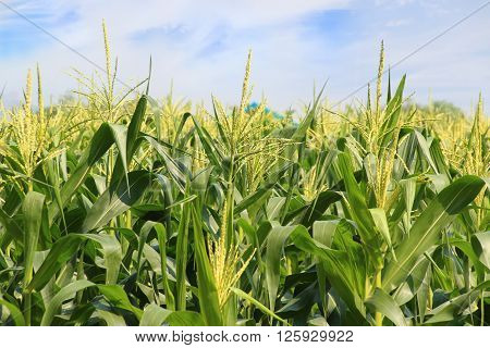 Corn growing in the green cornfield in Thailand