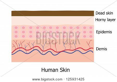 Human skin layer consists of dead skin horny layer Epidemis and Demis infographic