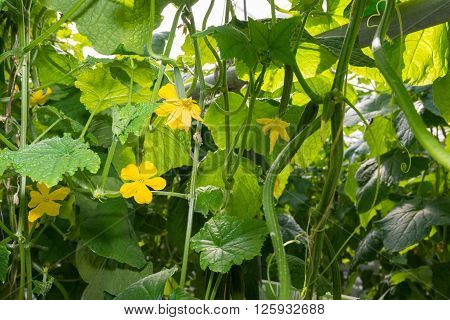 Closeup of yellow colored blossoms of cucumber plants cultivated on substrate in a specialized Dutch glasshouse.