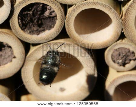 Mason Bee in flight approaching a bamboo nest