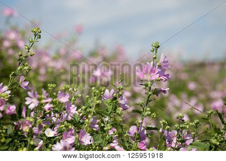 blooming musk mallow(Malva alcea cut-leaved mallow vervain mallow or hollyhock mallow) field in summer