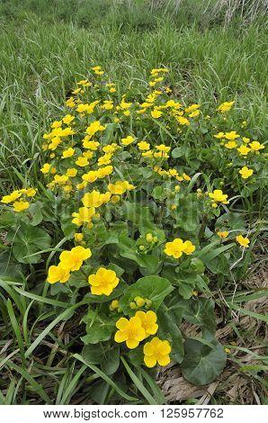 Marsh Marigold - Caltha palustris Whole plant mass of flowers