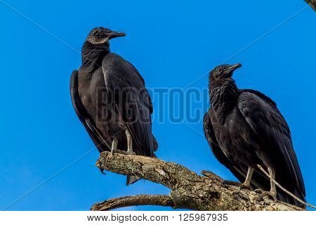 Turkey Vultures, Or Buzzards