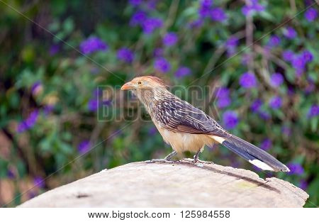 Guira cuckoo (Guira guira), South American bird