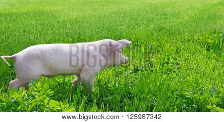 A funny pig on a green grass