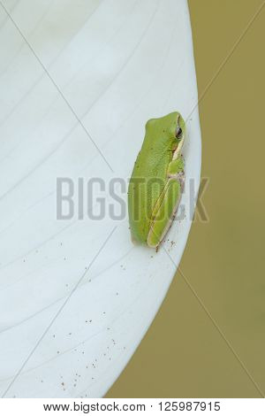 Green tree frog, litoria fallax, with tree fern spores on white spathiphyllum flower