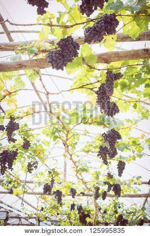 Grapes Fruit In Farm Viticulture Of Agriculture
