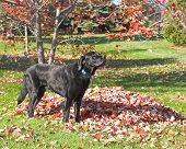 black labrador retriever next to a pile of autumn leaves in a backyard poster