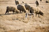 a spring lamb walks among the other grazing sheep poster