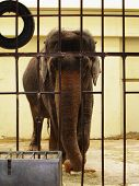 photograph of an elephant along the bars at zoo poster