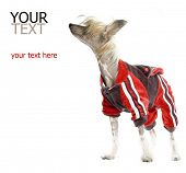 Chinese Crested Dog (hairless dog) in tracksuit poster