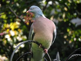 Wood pigeon perched on a bird feeder in a garden with a pink breast looking to one side