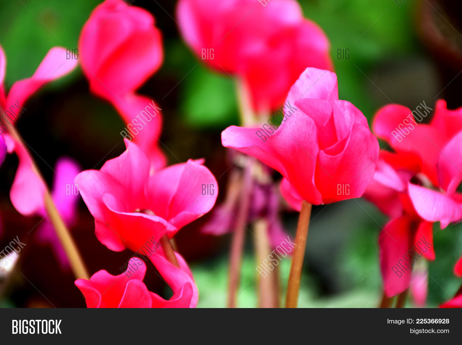 Pink Flowers Bushes Image Photo Free Trial Bigstock
