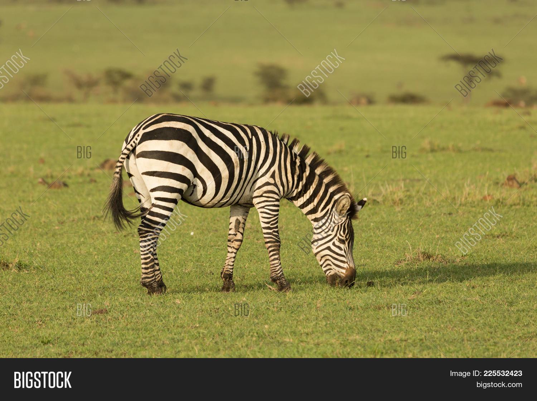 Zebra on the grasslands powerpoint template zebra on the your text toneelgroepblik Images