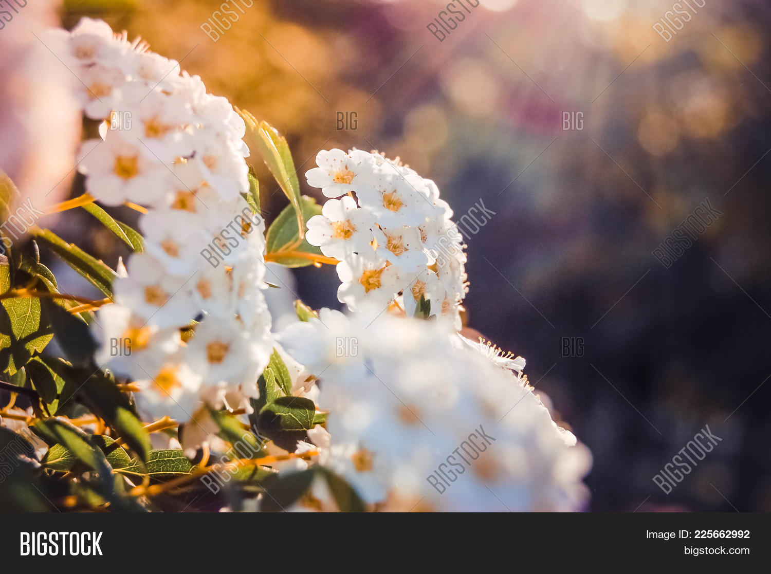 Little White Flowers Image Photo Free Trial Bigstock
