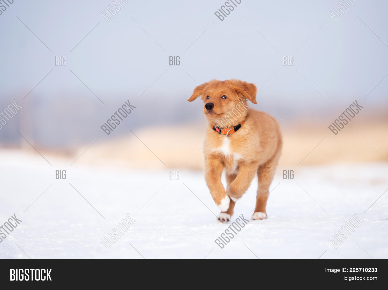 Australian shepherd dog PowerPoint Template - Australian shepherd ...