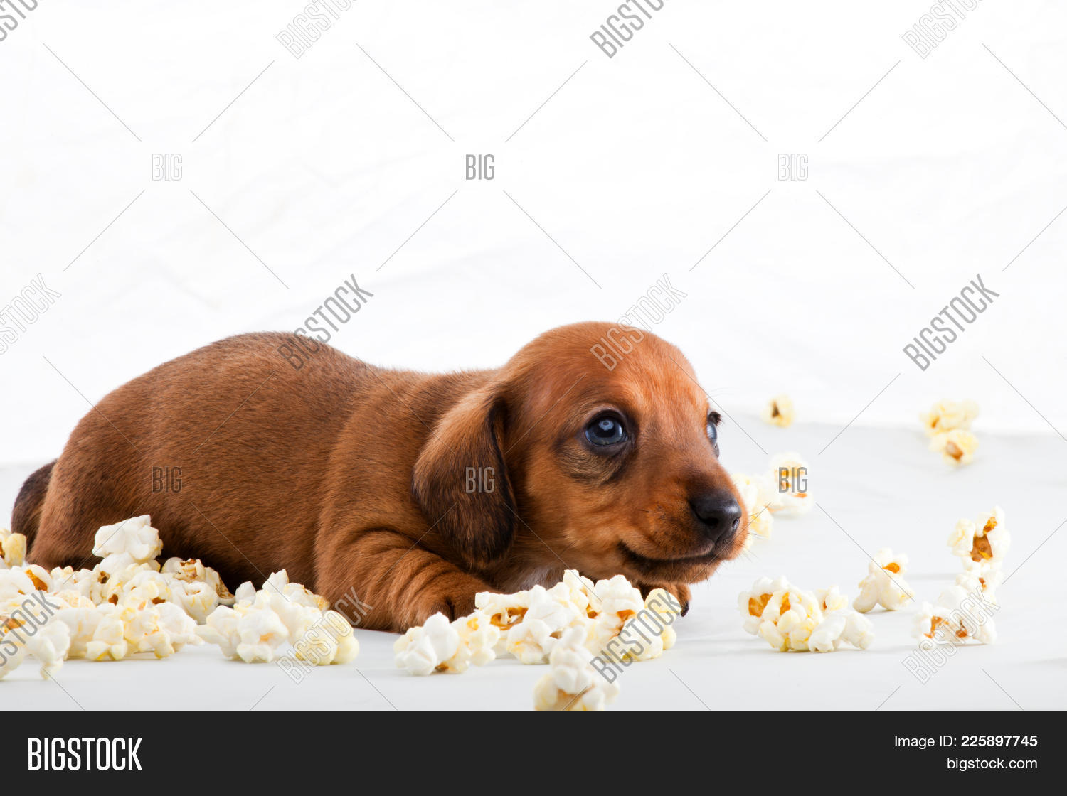 Dachshund Dog Powerpoint Theme Powerpoint Template Dachshund Dog