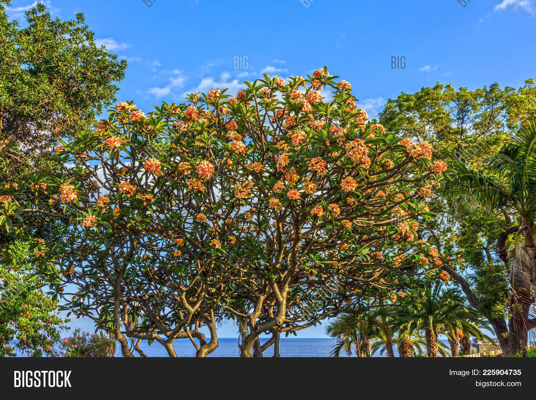 Plumeria tree PowerPoint Template - Plumeria tree PowerPoint Background
